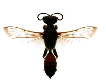 Сфекс рыжеватый (Sphex funerarius Gussakovskij, 1934)