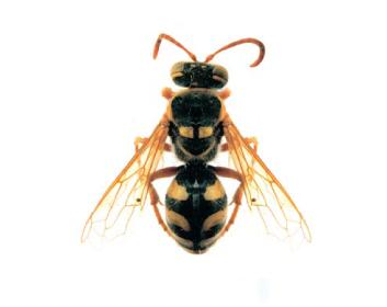 Стиз двокрапковий (Stizus bipunctatus (F. Smith, 1856))