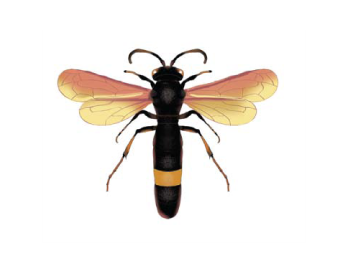 Стизоид трехзубый (Stizoides tridentatus (Fabricius 1775))