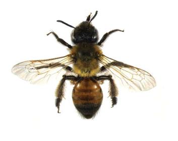 Андрена краснопятнистая (Andrena  (Melandrena) stigmatica  Morawitz, 1895)