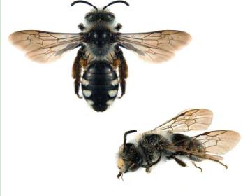 Андрена ошатна (Andrena (Poliandrena) ornata Morawitz, 1866)