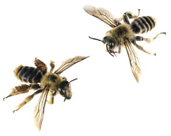 Дазипода (мохноногая пчела) шипоносная (Dasypoda (Megadasypoda) spinigera   Kohl, 1905)