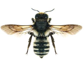 Пчела-лепщица Лефебра (Megachile  (Chalicodoma) lefebvrei   Lepeletier, 1841)