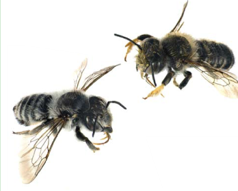 Мегахіла (бджола-листоріз) Жіро (Megachile (Xanthosarus) giraudi   Gerstaecker, 1869)