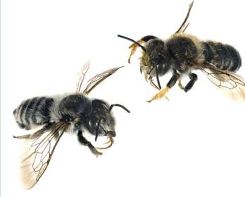 Мегахила Жиро, пчела-листорез Жиро (Megachile (Xanthosarus) giraudi   Gerstaecker, 1869)