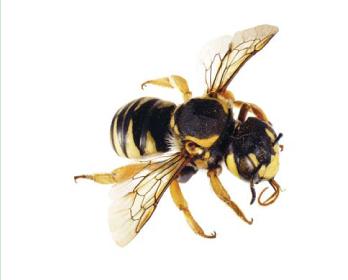 Трахуза опушенная (Trachusa (Archianthidium) pubescens  (Morawitz, 1872))