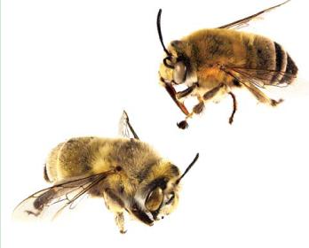 Антофора чернореснитчатая (Anthophora (Lophanthophora) atricilla  Eversmann, 1852)