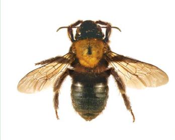 Кубиталия черная (Cubitalia (Cubitalia) morio Friese, 1911)