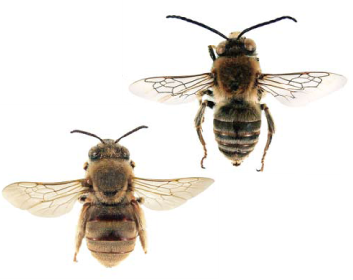 Эвцера армянская (Eucera (Synhalonia) armeniaca  (Morawitz, 1878))