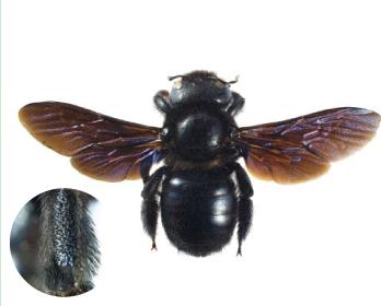 Пчела-плотник обыкновенная (Xylocopa  (Xylocopa) valga  Gerstaecker, 1872)