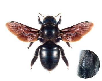 Пчела-плотник фиолетовая (Xylocopa (Xylocopa) violacea (Linnaeus, 1758))