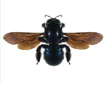 Пчела-плотник карликовая (Xylocopa (Copoxyla) iris (Christ, 1791))