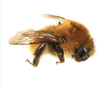 Джміль лезус (Bombus (Thoracobombus) laesus  Morawitz, 1875)