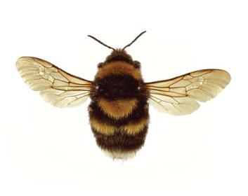 Джміль червонуватий (Bombus (Megabombus) ruderatus  (Fabricius, 1775))