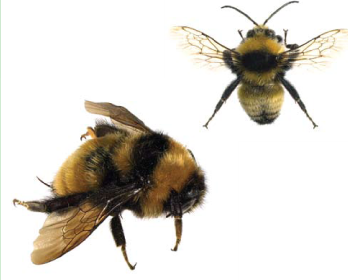 Джміль оперезаний (Bombus (Thoracobombus) zonatus Smith, 1854)