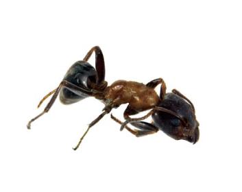 Ліометопум звичайний (Liometopum microcephalum (Panzer, 1798))