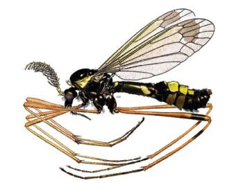Ктенофора праздничная (Ctenophora festiva Meigen, 1804)