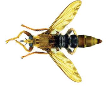 Ктырь шершневидный (Asilus crabroniformis (Linnaeus, 1758))