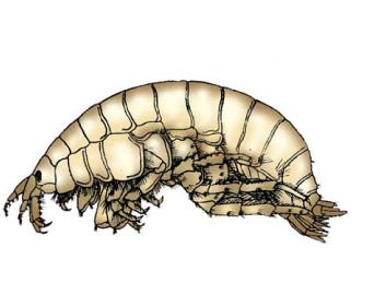 Нифарг средний (Nipargoides intermedius (Carausu, 1943))
