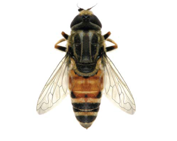Зубарик бедрастый (Merodon femoratoides Paramonov, 1925)