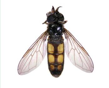 Пелекоцера широколоба (Pelecocera latifrons Loew, 1856)