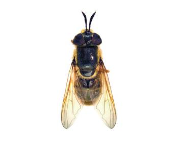 Красновуска Маккара (Callicera macquarti Rondani, 1844)