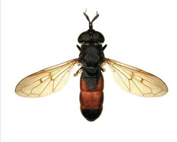 Псарус брюхастый (Psarus abdominalis (Fabricius, 1794))