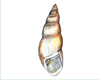 Прудовик Глабра (Lymnaea clavata Westerlund, 1885)