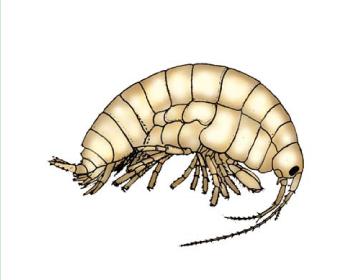 Іфігенела шаблінська (Iphigenella shablensis (Carausu, 1943))