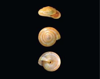 Оксихилюс Кобельта (Oxychilus kobelti (Lindholm, 1910))