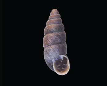 Хондрина вівсяна (Chondrina avenacea (Bruguiere, 1792))