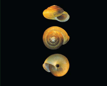 Простеномфалія карпатська (Prostenomphalia carpathica Baidaschnikov,  1985)