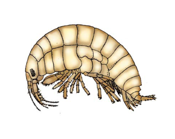 Ифигенелла колюченогая (Iphigenella acanthopoda Sars, 1896)