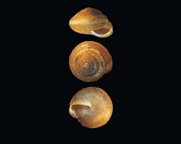 Трохолюс Бильца (Trochulus bielzi (A.Schmidt, 1860))