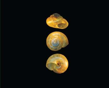 Пликутерия Любомирского (Plicuteria lubomirskii (Slosarski, 1881))