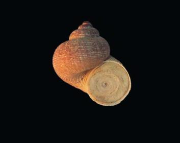 Равлик кришечковий струмковий (Pomatias rivulare (Eichwald, 1829))