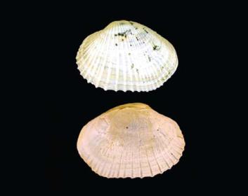 Гипанис складчатый (Hypanis plicata (Milashevitch, 1916))