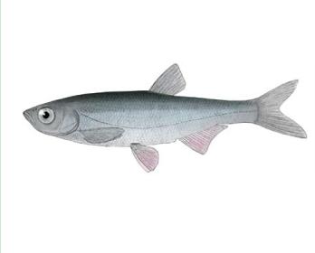 Шемая кримська (Alburnus mentoides (Kessler, 1859))