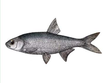 Рыбец малый (Vimba tenella (Nordmann, 1840))