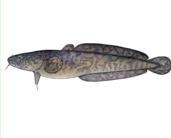 Минь річковий (Lota lota (Linnaeus, 1758))