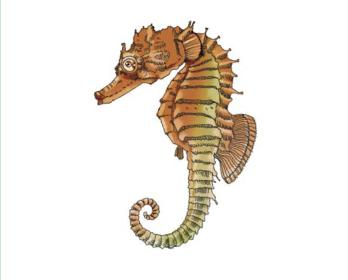Морський коник довгорилий (Hippocampus guttulatus Cuvier, 1829)
