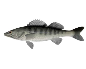 Судак морской (Sander marinus (Cuvier, 1828))