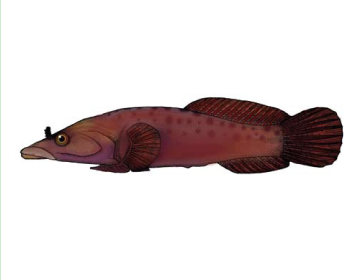 Риба-присосок європейська (Lepadogaster lepadogaster (Bonnaterre, 1788))