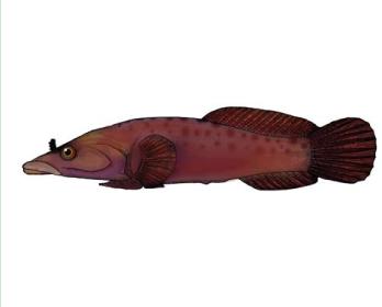 Рыба-присоска обыкновенная (Lepadogaster lepadogaster (Bonnaterre, 1788))