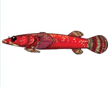 Короткопера риба-присосок двоплямиста (Diplecogaster bimaculatus (Bonnaterre, 1788))
