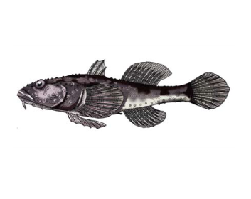Бичок-пуголовок зірчастий (Benthophilus stellatus (Sauvage, 1874))