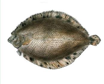Арноглось середземноморська, камбала Кесслера (Arnoglossus kessleri Schmidt, 1915)