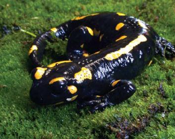 Саламандра плямиста (Salamandra salamandra (Linnaeus, 1758))