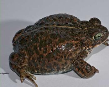 Жаба камышовая (Bufo calamita Laurenti, 1768)