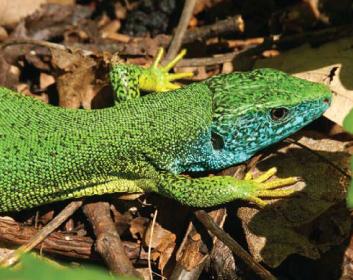 Ящірка зелена lacerta viridis laurenti 1768